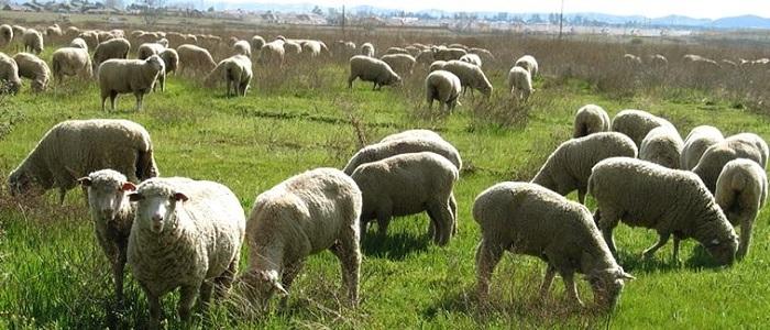 گوسفند زنده در تهران،بره فروشی و خرید دام زنده تهران